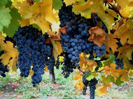 Sicilian ver� e kuqe
